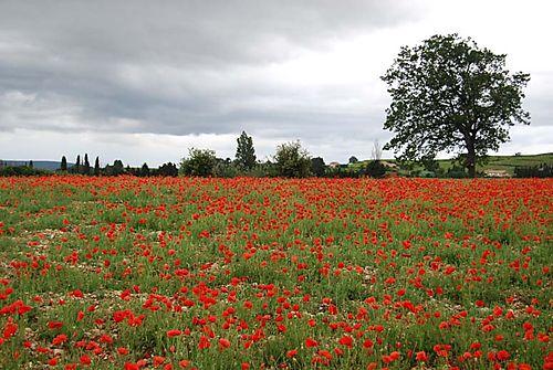 Poppies-coquelicots