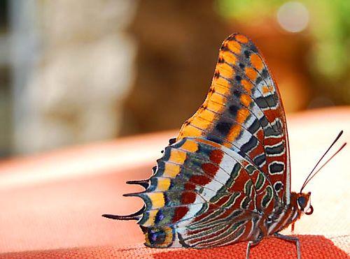Butterfly - Papillon (c) Kristin Espinasse