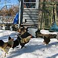 Volailles Aunt Reta's Roosters in Layton, Utah