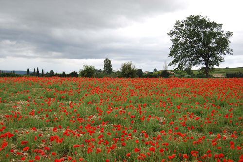 Le jour du souvenir french word a day field of poppies in the vaucluse photo taken last spring mightylinksfo