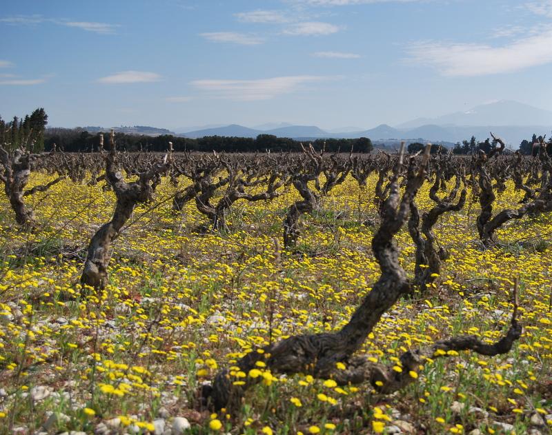 Yellow vineyard (c) Kristin Espinasse