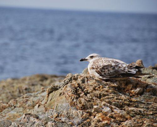 Une mouette or un goéland = seagull
