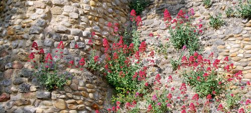 photos (c) Kristin Espinasse. Lily of Spain flowers thriving along an ancient rock wall in Rasteau.