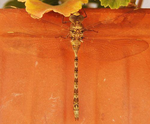 Dragonfly (c) Kristin Espinasse