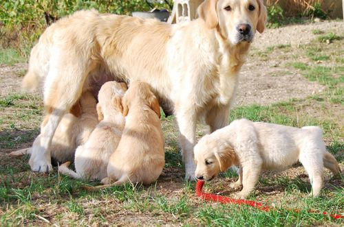 golden retriever puppies, nursing, leash, france (c) Kristin Espinasse, french-word-a-day.com
