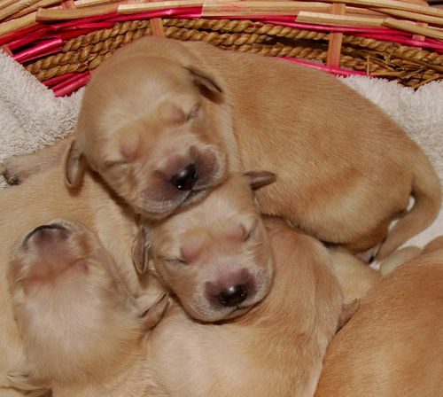 golden retriever puppies, newborn, basket, day old, france (c) Kristin Espinasse, french-word-a-day.com