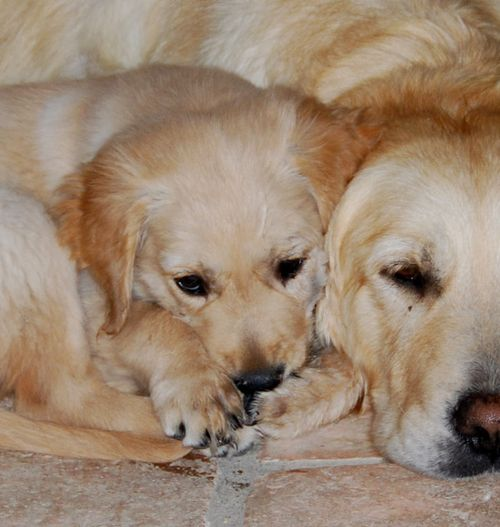 golden retriever puppy and mother, shy, cuddle (c) Kristin Espinasse, french-word-a-day.com