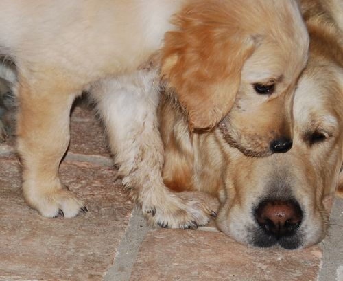 golden retriever puppy dog (c) Kristin Espinasse, french-word-a-day.com