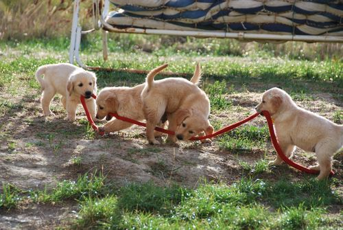 golden retriever puppies, leash, france (c) Kristin Espinasse, french-word-a-day.com