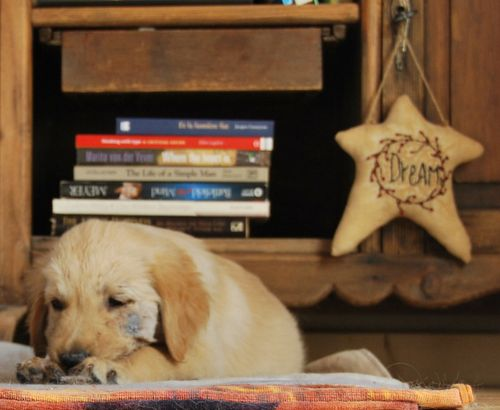 golden retriever, injured, accident, star pillow, books, nightstand, argile, plaie, heal (c) Kristin Espinasse, french-word-a-day.com