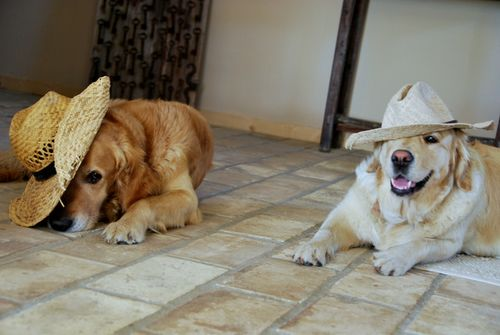 golden retriever adult dogs, straw hat, floor tile, clay, provence, france (c) Kristin Espinasse, french-word-a-day.com