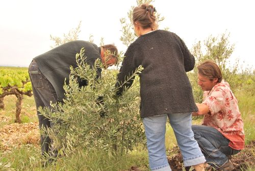 How to prune an olive tree (c) Kristin Espinasse