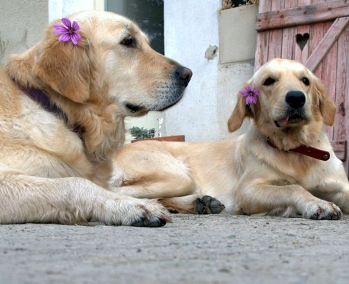 golden retriever, dog, flower, mauve, heart, window, wooden, shutter, tongue, leash (c) Kristin Espinasse, www.french-word-a-day.com