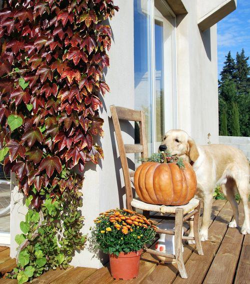 pumpkin, climbing vine, Virginia Creeper, vigne vièrge, chrysanthemum, golden retriever, dog, wooden chair, deck (c) Kristin Espinasse www.french-word-a-day.com