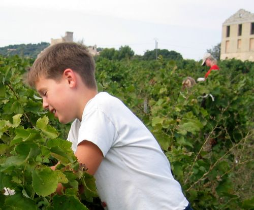 wine grape harvest harvesters chateauneuf du pape
