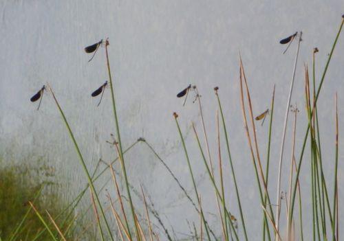 Dragonflies (c) Kristin Espinasse
