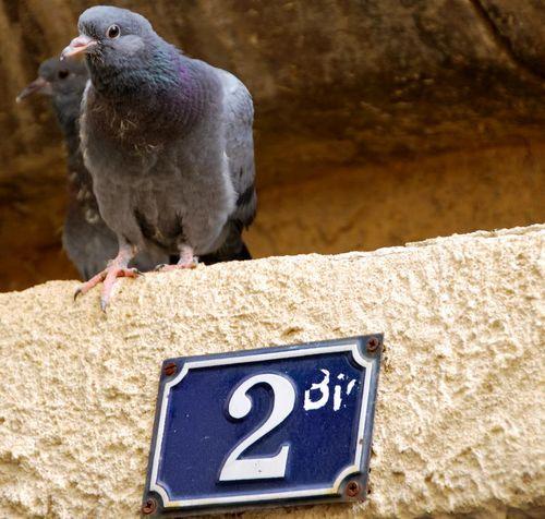 St Paul Pigeon (c) Kristin Espinasse