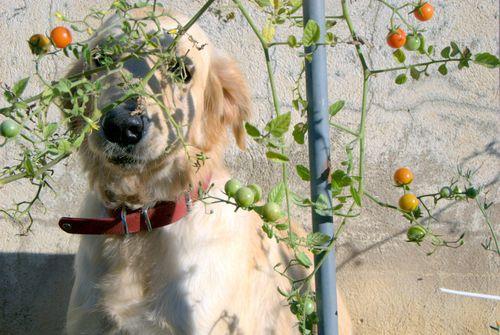 cherry tomatoes (c) Kristin Espinasse