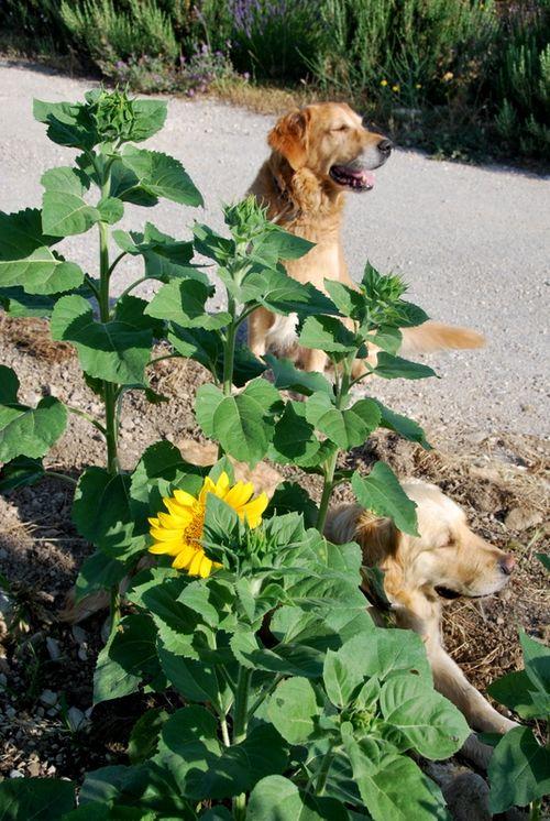 goldern retrievers and sunflowers (c) Kristin Espinasse
