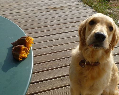 sweet potato golden retriever wood deck