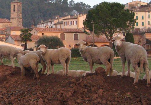 Sheep in Les Arcs (c) Kristin Espinasse