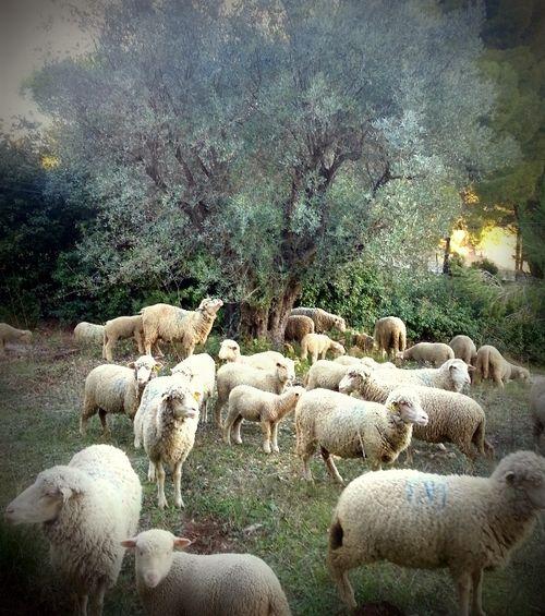 Sheep (c) Jean-Marc Espinasse