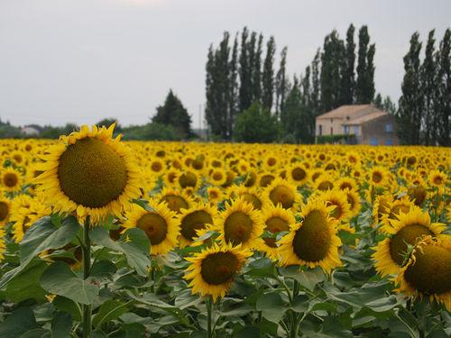 Sunflowers (c) Kristin Espinasse