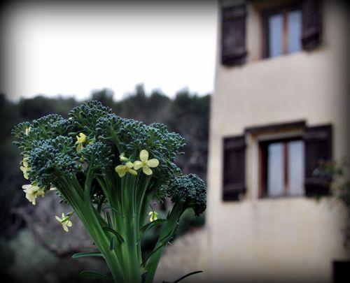 broccoli flowers (c) Kristin Espinasse