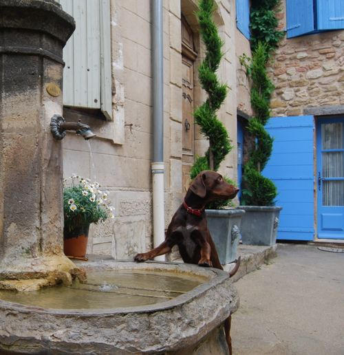 French dog in Gigondas (c) Kristin Espinasse