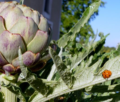 lady bug and artichoke (c) Kristin Espinasse