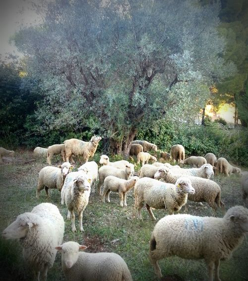 Brebis, mouton, sheep, olive trees, south of France (c) Jean-Marc Espinasse, www.french-word-a-day.com