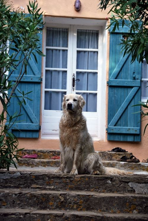 Island dog - golden retriever (c) Kristin Espinasse