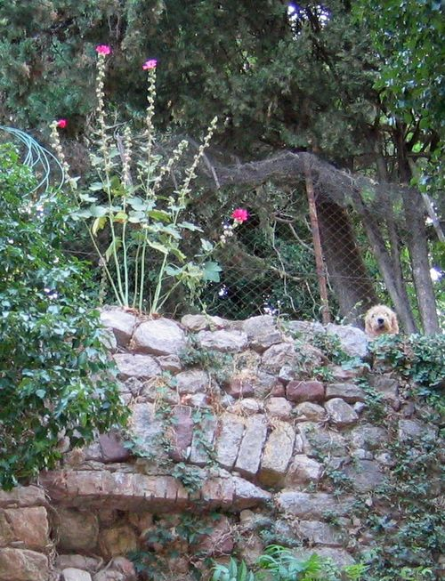 Hollyhocks and dog in Le Cannet des Maures (c) Kristin Espinasse