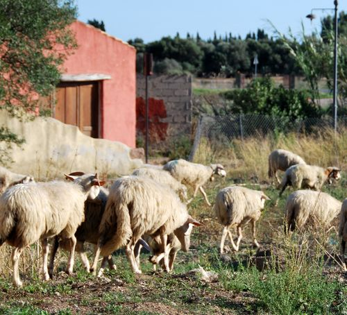 Sheep in Sardinia, Italy (c) Kristin Espinasse french-word-a-day.com