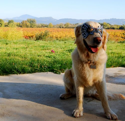 golden retriever dog halloween costume mask, vineyard, fall, autumn, vines, mont ventoux (c) Kristin Espinasse, french-word-a-day.com