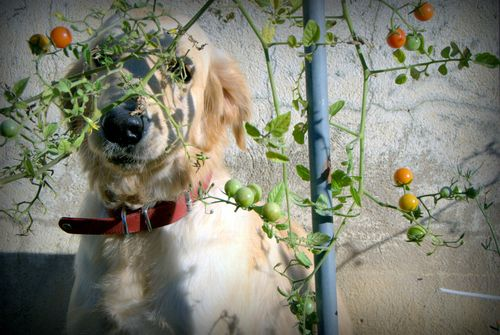 Tomato vine, cherry tomatoes, golden retriever, hide-n-seek, France, gardening www.french-word-a-day.com (c) Kristin Espinasse