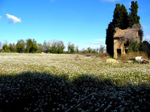 Field of mustard flowers in Sainte Cécile-les-Vignes (c) Kristin Espinasse