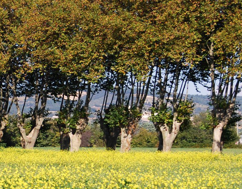 2-mustard field
