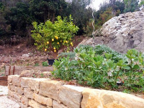Lemon-tree-fava-beans