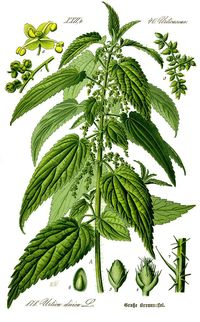Ortie-stinging-nettle