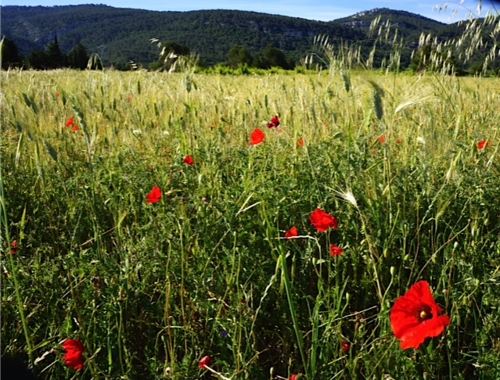 field of wheat and poppies (c) Cynthia Gillespie-Smith