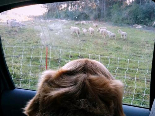 1-smokey sheep