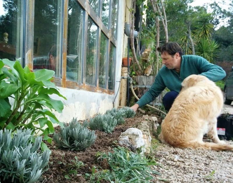 Planting lavender