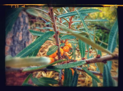 Argousier or sea-buckthorn