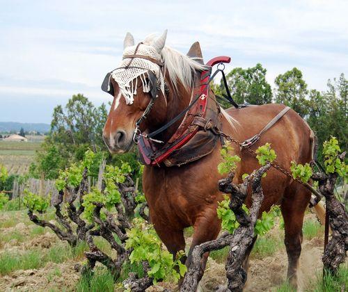 Culotte-de-cheval