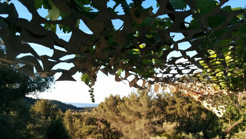 1-grapevine trellis