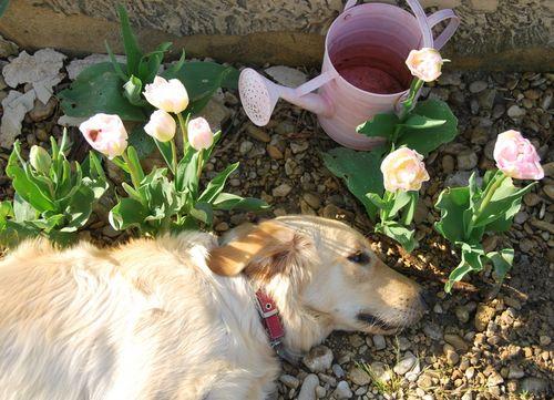 Smokey and tulips