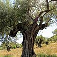 Field of olive trees at Mas des Brun