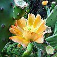 Prickley pear flower