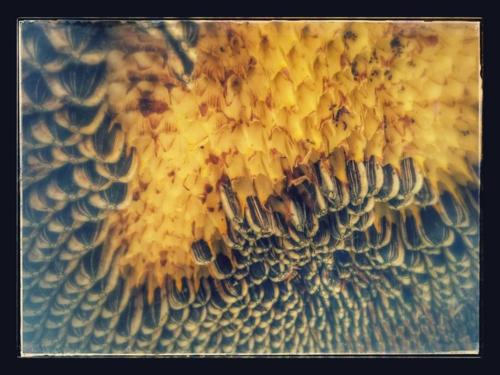sunflower seeds growing in the backyard